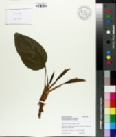 Aglaonema modestum image