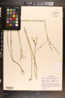 Linum floridanum var. chrysocarpum image