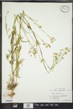 Silene antirrhina image