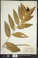 Maianthemum stellatum image