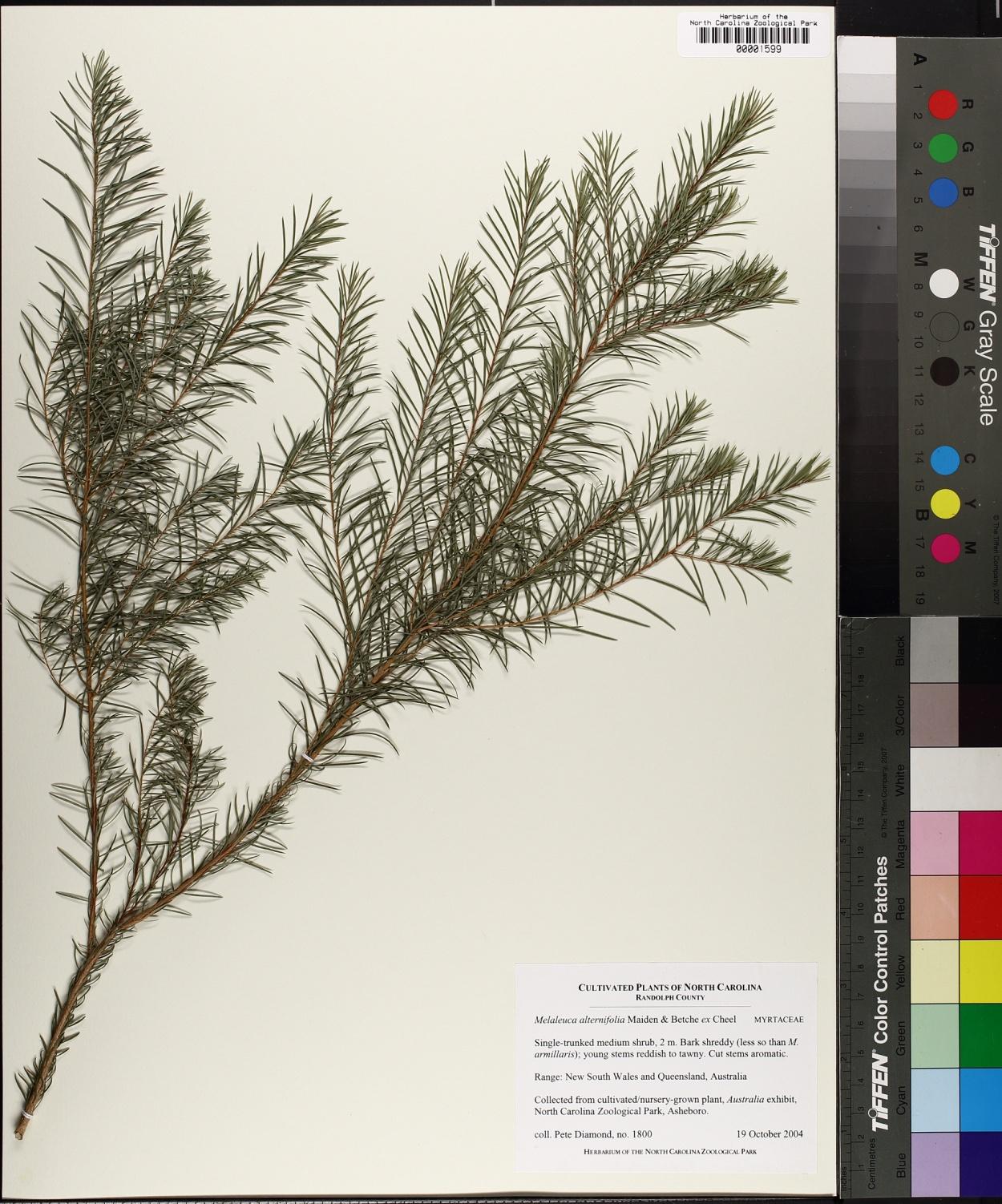 Melaleuca alternifolia image