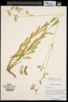 Silene vulgaris image