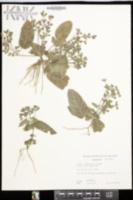 Image of Hemigraphis reptans