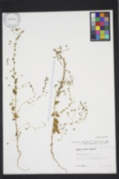Kickxia elatine subsp. crinita image