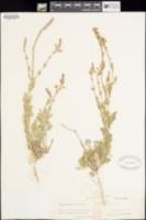 Image of Verbena cloverae