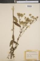Image of Eupatorium verbenaefolium