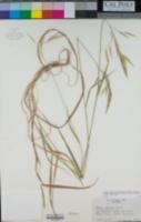Bromus vulgaris image