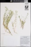 Leptosiphon floribundus image