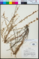 Acmispon glaber image