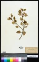 Croton punctatus image