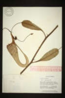 Image of Nepenthes fusca