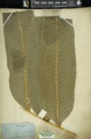 Image of Campyloneurum magnificum