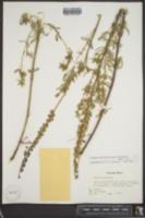 Image of Lupinus parviflorus ssp. myrianthus