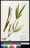 Arundinaria simonii image