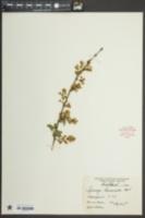 Image of Syringa laciniata