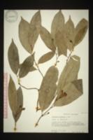 Image of Anaxagorea luzonensis