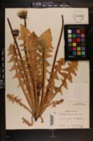 Image of Taraxacum huelphersianum