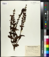 Image of Angelonia gardneri