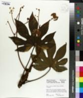 Fatsia japonica image