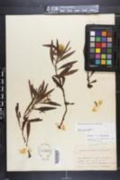 Ludwigia grandiflora subsp. grandiflora image