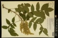 Image of Schmaltzia copallinum