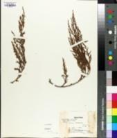 Image of Cupressus torulosa