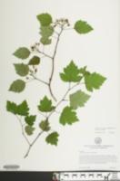Crataegus pruinosa var. pruinosa image