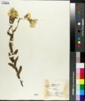 Helichrysum foetidum image