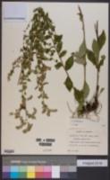Image of Solidago brachyphylla