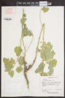 Sphaeralcea fendleri image