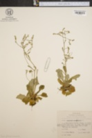 Image of Saxifraga pennsylvanica