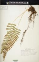 Image of Polypodium mantoniae