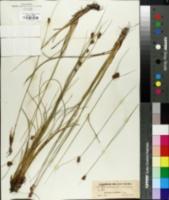Image of Rhynchospora semiplumosa
