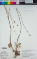 Eriogonum nudum var. indictum image