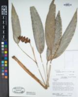 Image of Calathea cofaniorum