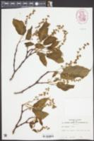 Acer davidii image
