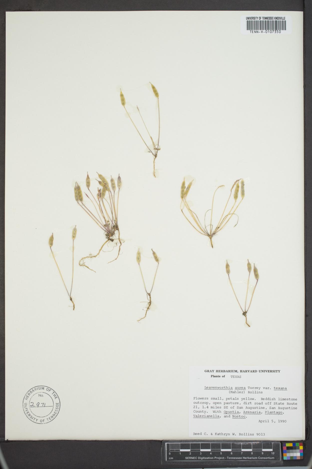 Leavenworthia aurea var. texana image