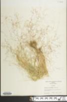 Agrostis elliottiana image