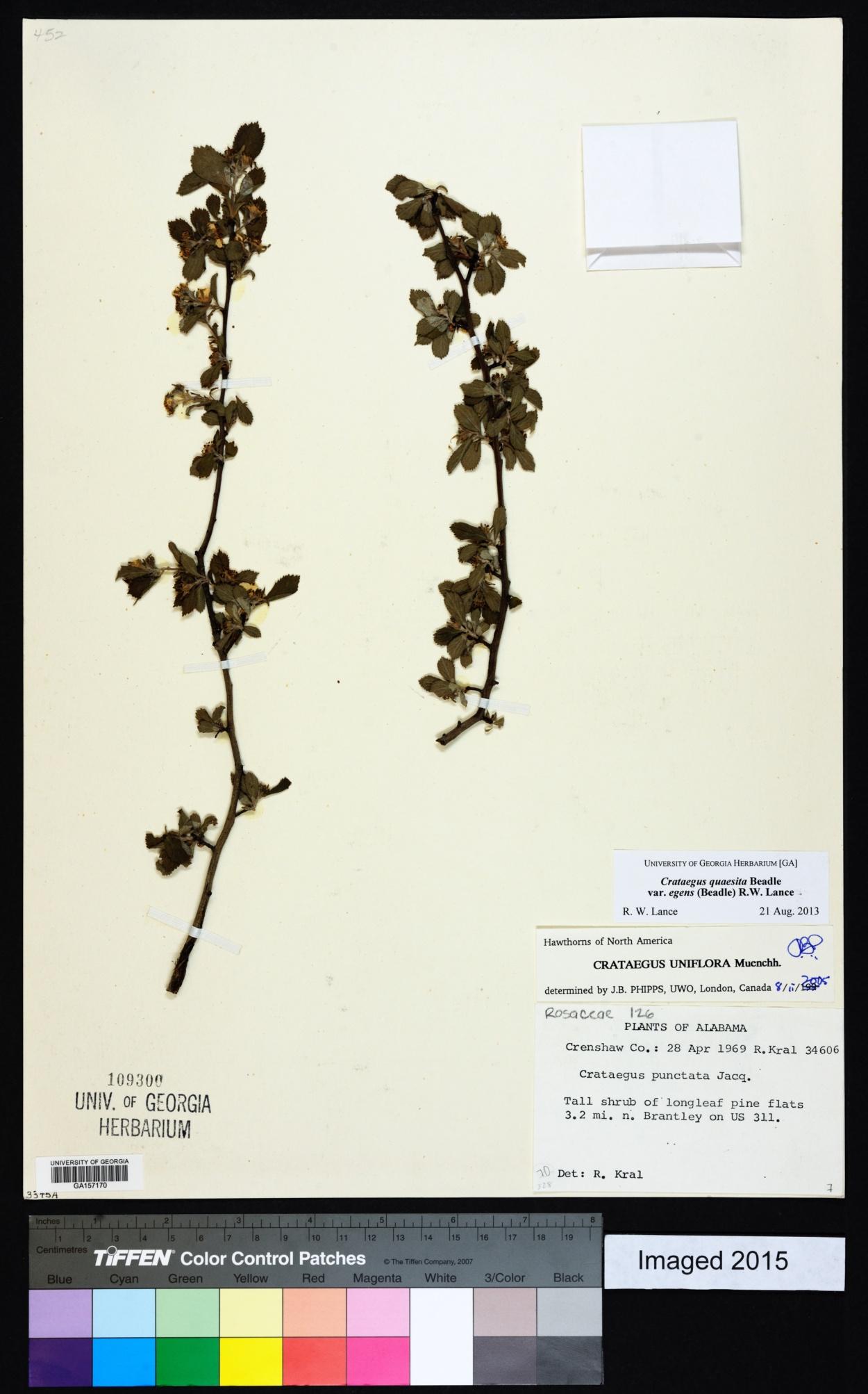 Crataegus quaesita var. egens image