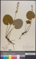 Schizocodon soldanelloides image
