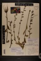 Lobelia × rogersii image