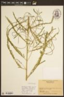 Image of Sesuvium microphyllum
