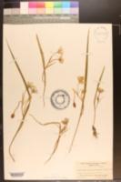 Image of Calochortus caeruleus