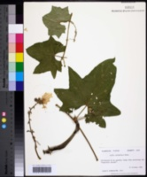 Luffa aegyptiaca image