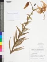 Lilium tigrinum image