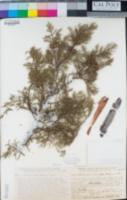Cupressus bakeri image