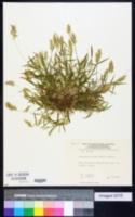Anthoxanthum puelii image