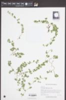 Desmodium triflorum image