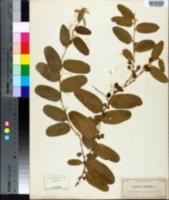 Image of Passiflora multiflora