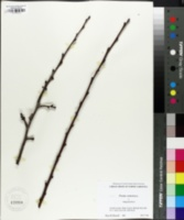 Prunus armeniaca image